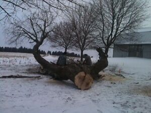 Tree Removal, Tree Pruning and stump grinding Cambridge Kitchener Area image 2