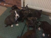 8week old staff cross pups