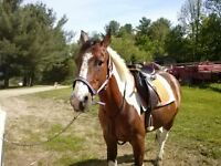 For Sale Paint Quarter Horse Gelding