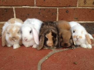 Mini Lop Rabbits - PH 0 LONG WEEKEND SPECIAL!!! Blacktown Blacktown Area Preview