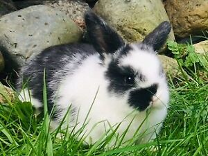 ~ Beautiful & Curious Female Purebred Holland Lop Baby Bunny ~