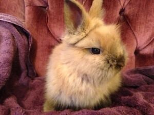 Lionhead Companion Rabbit! The Adventurer!