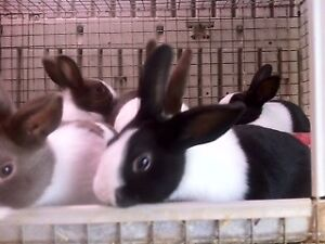 Purebred Dutch Bunny Rabbits
