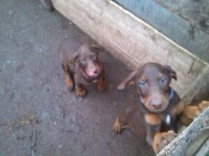 Doberman pups ready to go.