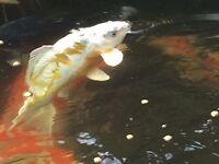 Japanese koi carp for sale