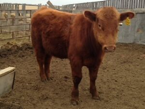 Red Angus Yearling Bulls