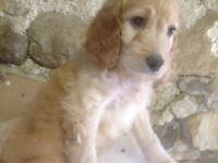 irish-Doodle Puppies