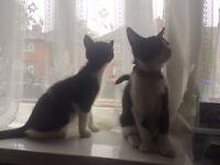 2 x Black & White Kittens