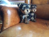 Mini yorkies/ Yorkshire terrier /t-cup