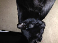 All Black Kittens to good home