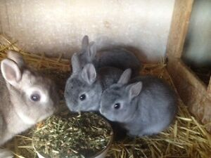 Purebred Netherland Dwarf Baby Rabbits Gawler Gawler Area Preview