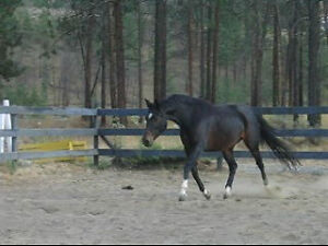 2007 premium registered Oldenburg mare