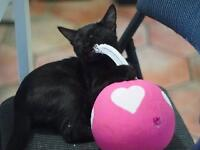 """Baby Male Cat - Domestic Short Hair: """"Belize"""""""
