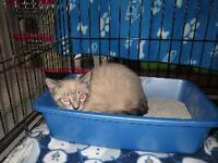 "Baby Male Cat - Siamese: ""Meatball"""
