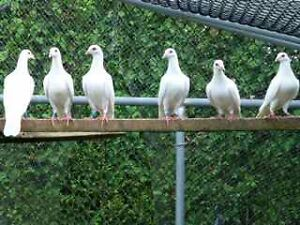 Pigeon (White Racing Homers or Wedding Doves)