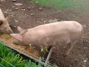 In pig sows for sale Narrabri Narrabri Area Preview