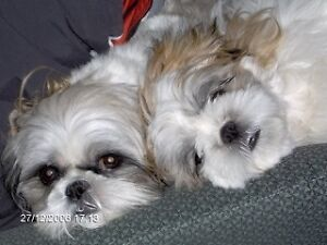 TWO WELL BEHAVED SHIH TZU'S FOR CARE IN YOUR HOME! EAST RUTLAND!