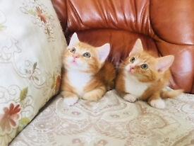 Two male kittens for sale 9 weeks old kitten
