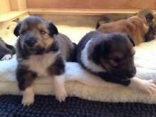 Shetland Sheepdog Puppies (sheltie / minature collie) Newcastle Newcastle Area Preview