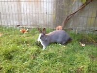 Dutch Rabbit for Sale