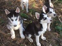 Beautiful Malamute/Siberian Husky puppies