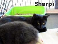 "Young Male Cat - Domestic Short Hair-black: ""Sharpi"""