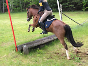 "Piper 2007 ""section A"" Welsh cross pony 12.2hh. A MUST SEE"