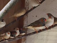 15 Zebra Finches For Sale