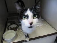 """Young Female Cat - Domestic Short Hair-black and white: """"Midge"""""""
