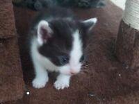 1 Friendly kitten for sale