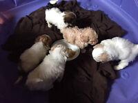 Bichon/Shih Tzu & Bichon/Poodle puppies for sale