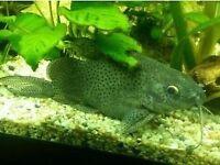 "Synodontis catfish at least 4.5"" or 14cm long for fish tank aquarium kofh"