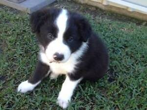 PURE BORDER COLLIE PUPPIES FOR SALE Marian Mackay Surrounds Preview