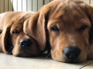 Fox Red Lab Christmas Puppies