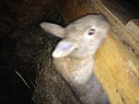 Pure Flemish bunnies