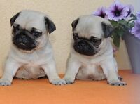 CKC Fawn Pugs ready to go now.
