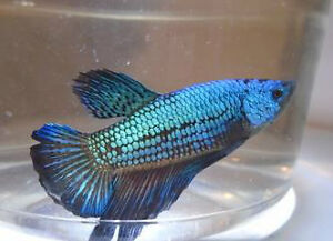 Ocean Blue Dragon Halfmoon Plakat Bettas