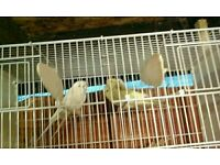 Budgies or canaries with cage.