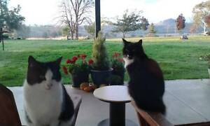 Pair of adorable Manx cat sisters, registered. Elsmore Inverell Area Preview