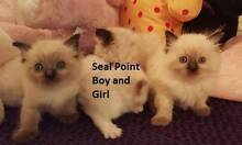 Purebred Ragdoll Kitten Registered breeder Kenthurst The Hills District Preview