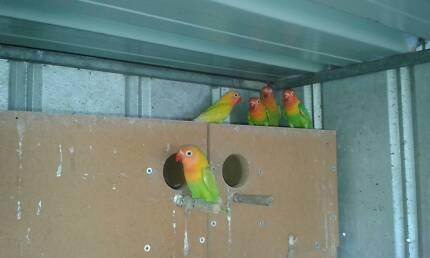 Lime Fisher Lovebirds