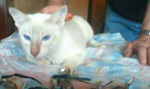 CFA REGISTERED SIAMESE MALE