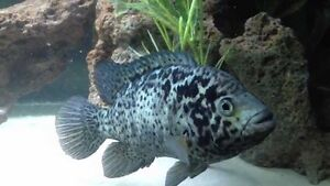 Tropical, cichlid and gold fish sale. Rocklea Brisbane South West Preview