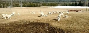100 Commercial ewes with lambs for sale.