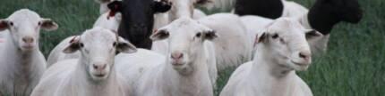 Sheep/Livestock