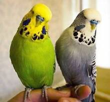 Budgies adoption for Large Aviary Herne Hill Geelong City Preview