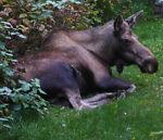 Moose-In-The-Yard