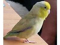 Lost Parrotlet 10th January