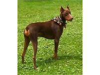FREE Doberman need gone asap due to moving!