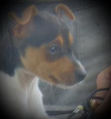 TENTERFIELD TERRIER PUPPY  (The true Aussie Dog) Brisbane City Brisbane North West Preview